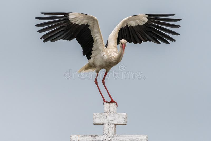 Fermez-vous d'un oiseau de cigogne blanche en Roumanie sauvage photos libres de droits
