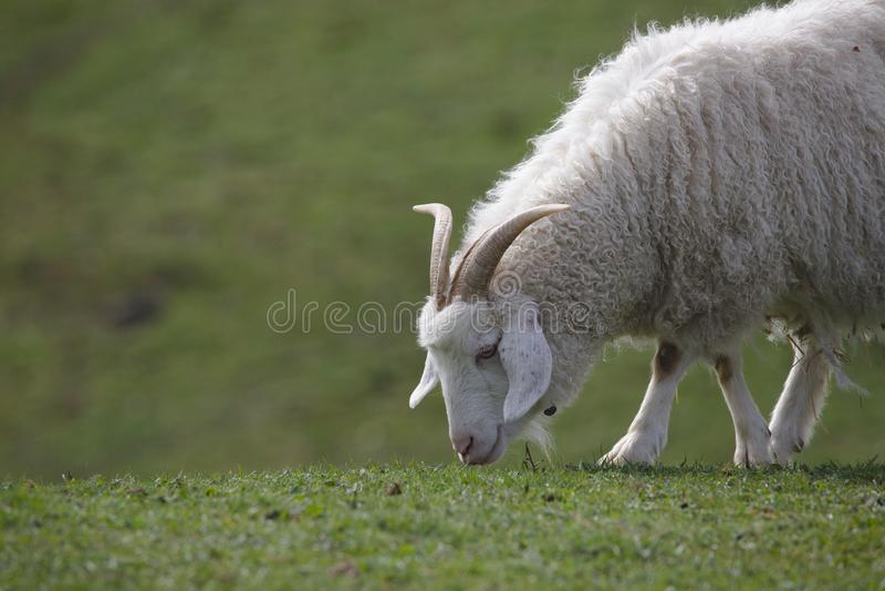 Fermez-vous d'un pâturage de chèvre de cachemire de montagne photo libre de droits
