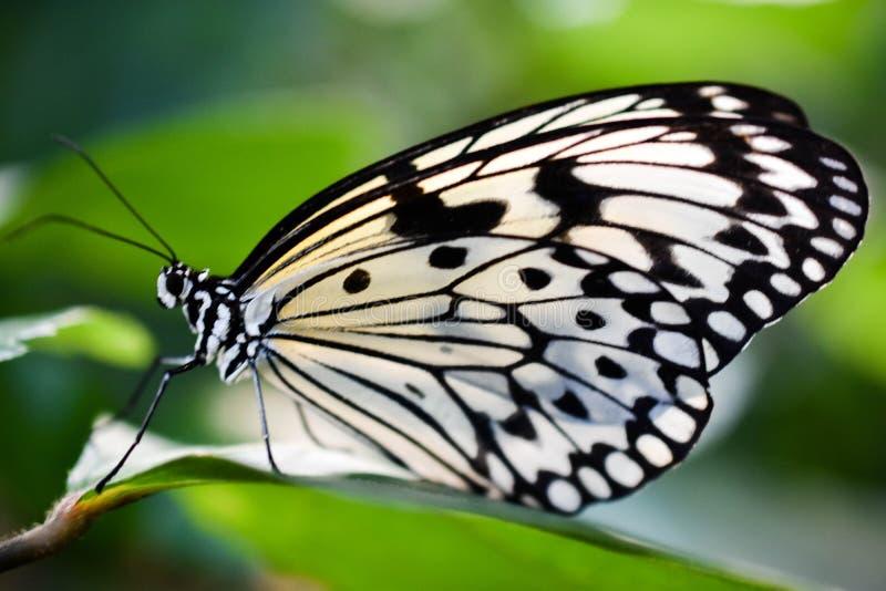 Fermez-vous d'un papillon noir et blanc photo stock