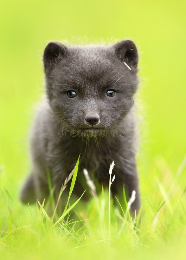 Fermez-vous d'un petit animal de renard arctique dans le domaine d'herbe photos libres de droits
