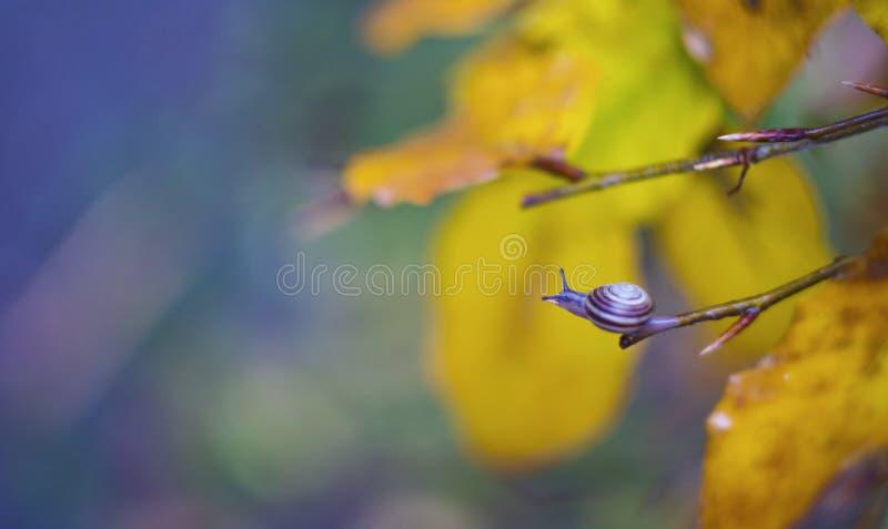 Fermez-vous d'un petit escargot sur la branche d'arbre d'automne image libre de droits