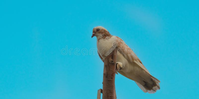 Fermez-vous d'un pigeon se reposant sur des morceaux en bois photos libres de droits