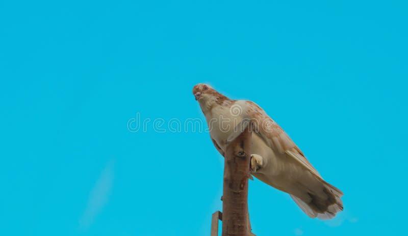 Fermez-vous d'un pigeon se reposant sur des morceaux en bois photos stock