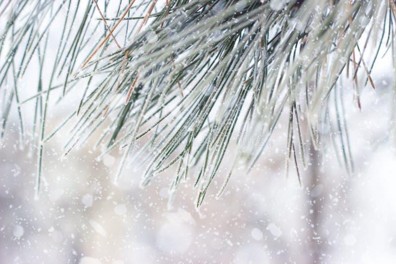 Fermez-vous d'un pin avec la gelée photos libres de droits