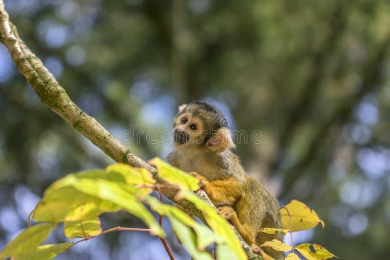 Fermez-vous d'un singe-écureuil Noir-couvert dans un arbre images stock
