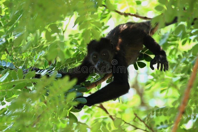 Fermez-vous d'un singe d'hurleur de bébé vers le haut d'un arbre dans la jungle images libres de droits