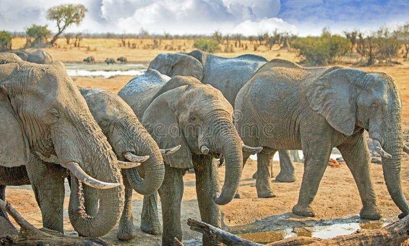 Fermez-vous d'un troupeau d'éléphants à un point d'eau wdrinking images libres de droits