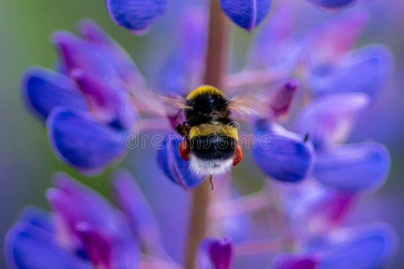 Fermez-vous d'un vol de bourdon à une fleur bleue de lupin image libre de droits