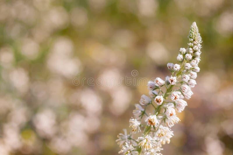 Fermez-vous d'un Wildflower avec des fleurs et des bourgeons avant qu'ils fleurissent pendant le ressort photo stock