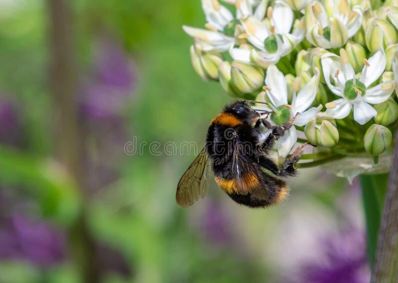 Fermez-vous d'une abeille de gaffer rassemblant le pollen images stock