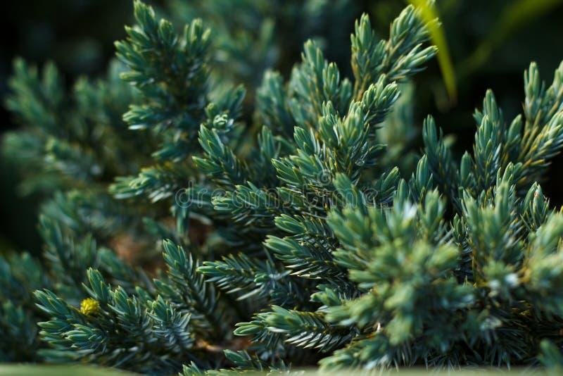 Fermez-vous d'une branche de sapin sur un fond vert photographie stock libre de droits