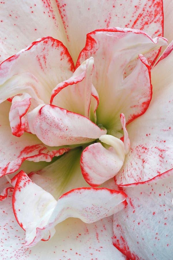 Fermez-vous d'une double fleur bordée blanc rouge d'amaryllis image stock