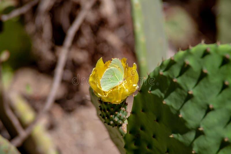 Fermez-vous d'une fleur de cactus avec le papillon photos libres de droits