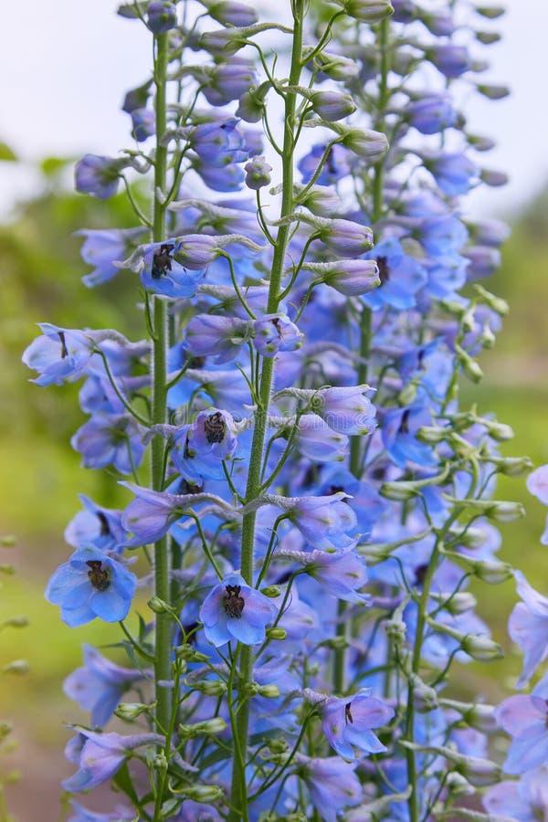 Fermez-vous d'une fleur d'elatum de delphinium en fleur images stock