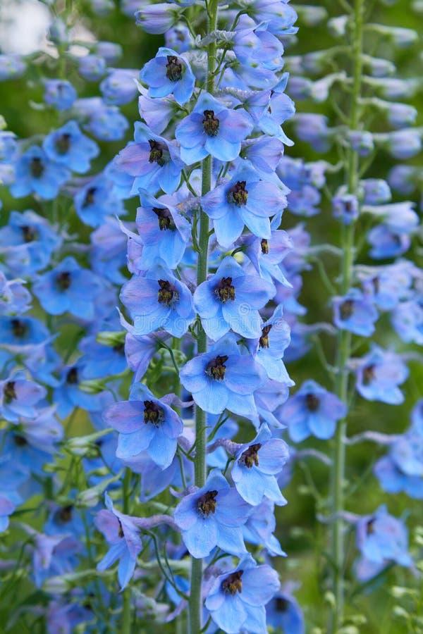 Fermez-vous d'une fleur d'elatum de delphinium en fleur photographie stock libre de droits