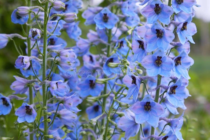 Fermez-vous d'une fleur d'elatum de delphinium en fleur photos stock