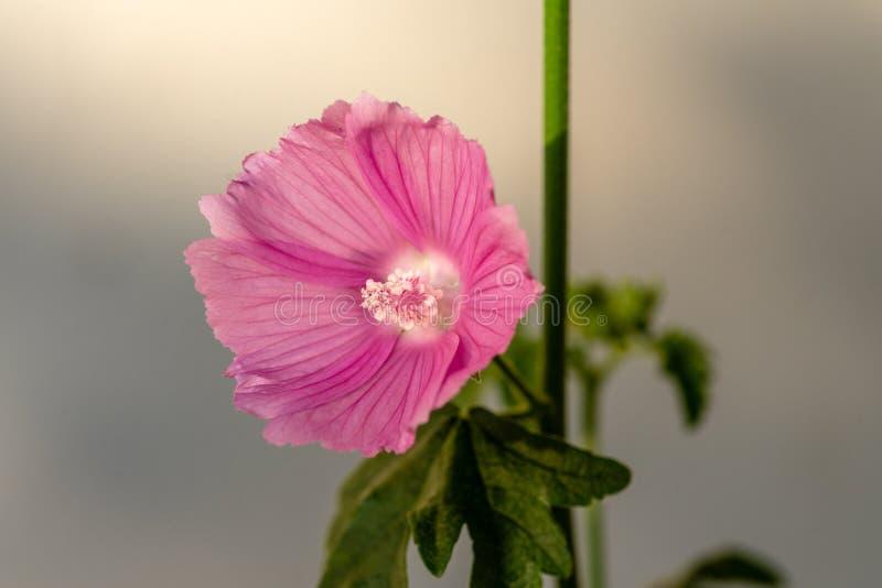 Fermez-vous d'une fleur rose de mauve image libre de droits