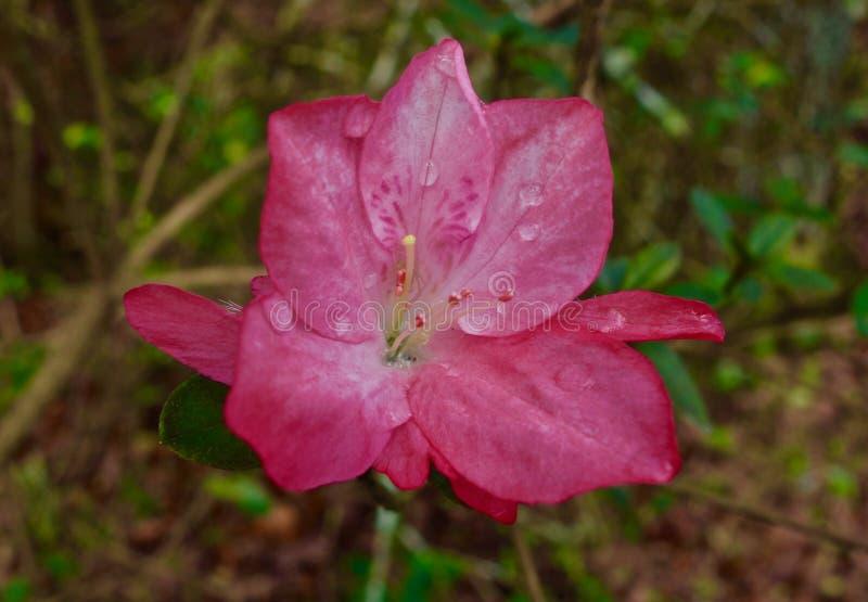 Download Fermez-vous D'une Fleur Rouge D'azalée Fleurissant Tôt Au Printemps Image stock - Image du fleurs, rouge: 87704025