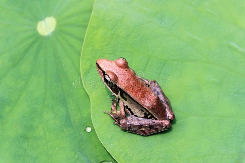 Fermez-vous d'une grenouille sur la feuille verte de lotus images stock