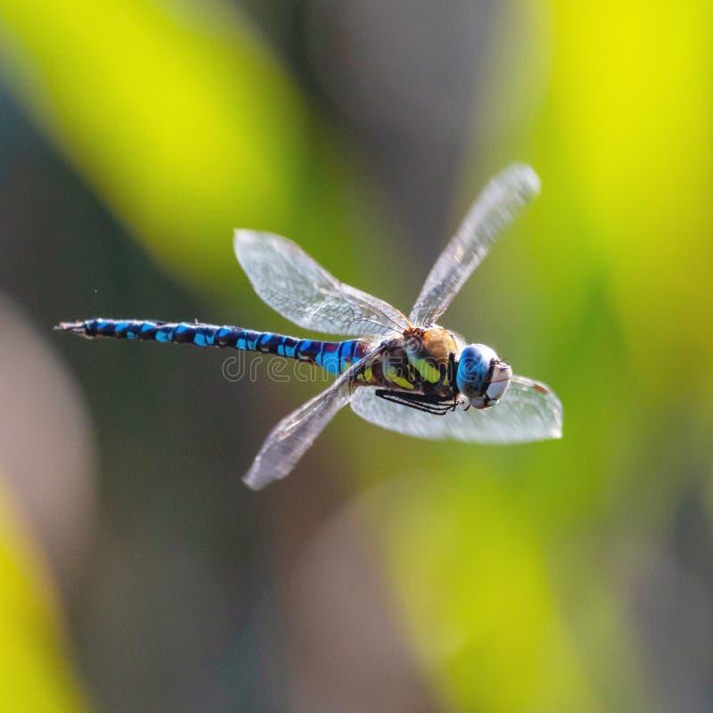 Fermez-vous d'une libellule photo stock