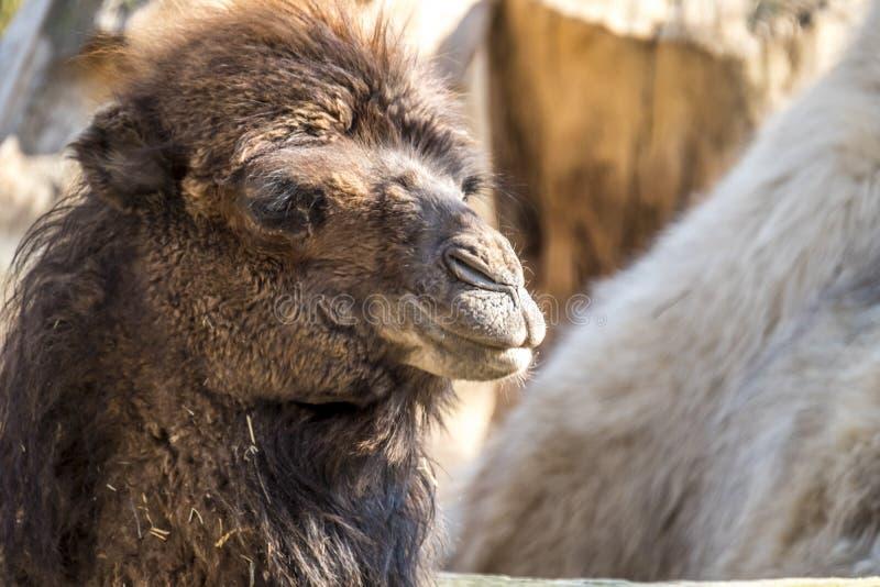 Fermez-vous d'une mastication de chameau image stock