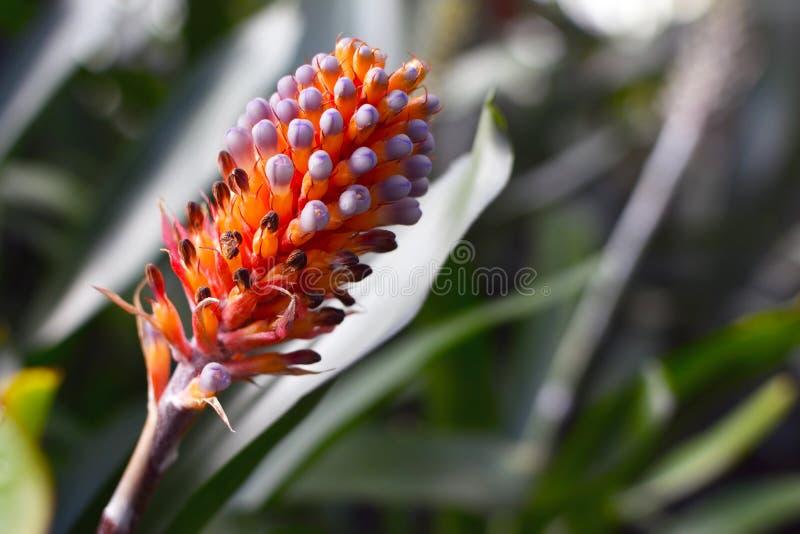 Fermez-vous d'une orange lumineuse avec la fleur exotique de bromélia d'Aechmea Cylindrata d'astuces violettes en pleine floraiso photos libres de droits