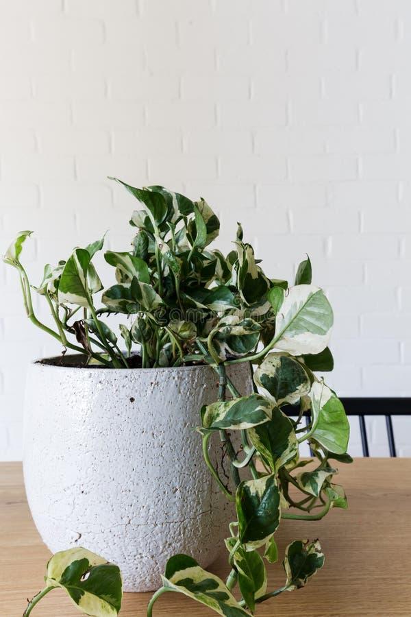 Fermez-vous d'une plante en pot d'intérieur du lierre du diable photographie stock