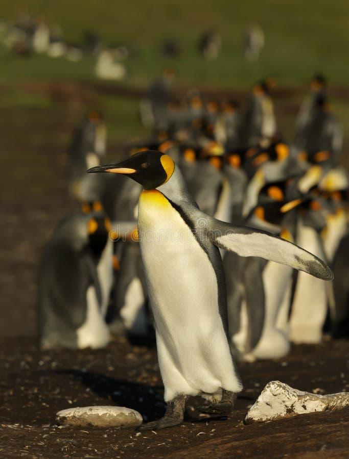 Fermez-vous d'une position de pingouin de roi près de la colonie photographie stock libre de droits