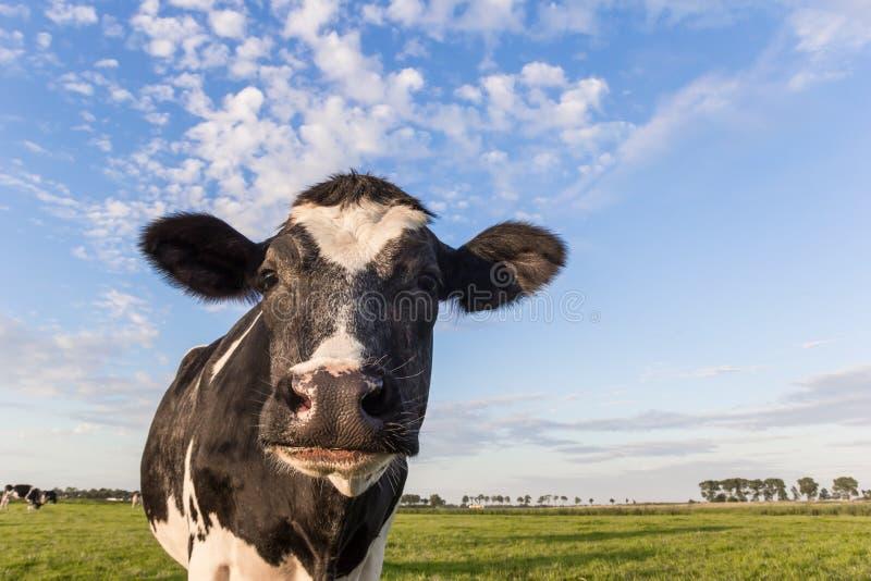 Fermez-vous d'une vache noire et blanche néerlandaise aux Pays-Bas images libres de droits