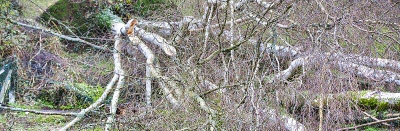 Fermez-vous de cinq grands arbres de bouleau sont avalés dans le jardin après tempête forte de tornade et d'aile Catastrophe pour photos stock