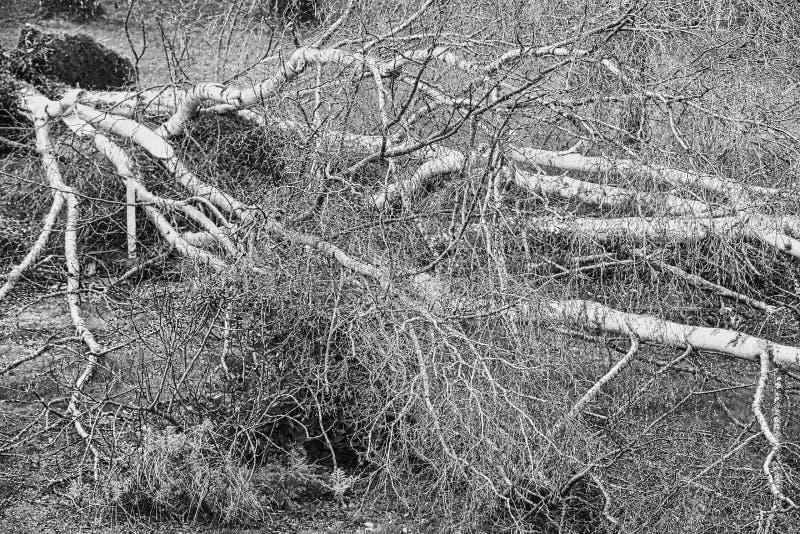 Fermez-vous de cinq grands arbres de bouleau sont avalés dans le jardin après tempête forte de tornade et d'aile Catastrophe pour photos libres de droits