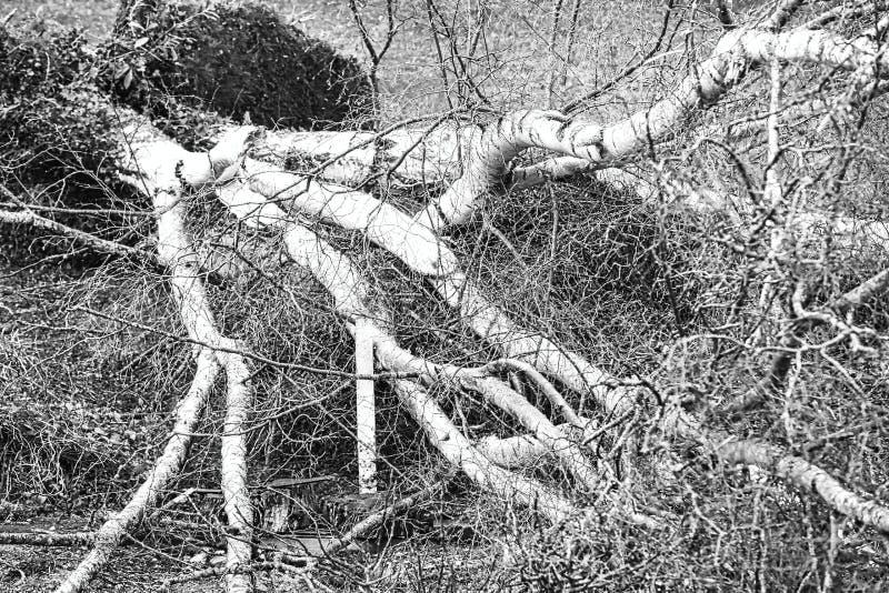 Fermez-vous de cinq grands arbres de bouleau sont avalés dans le jardin après tempête forte de tornade et d'aile Catastrophe pour photo libre de droits