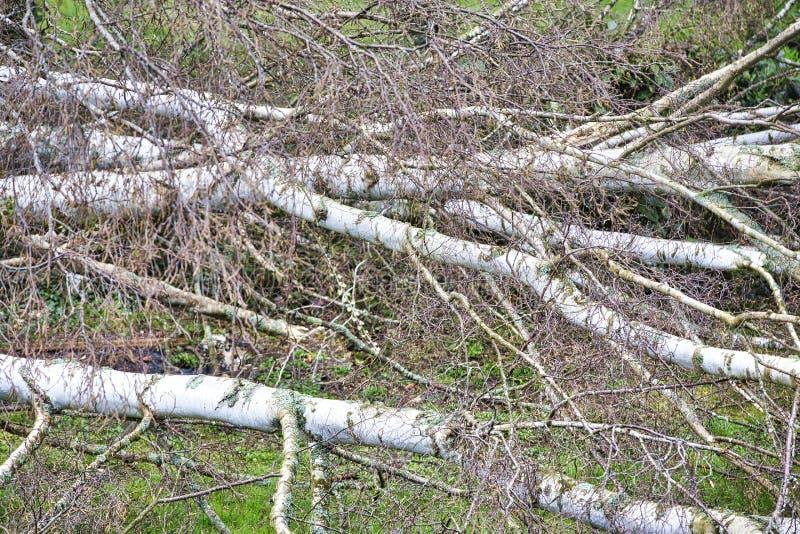 Fermez-vous de cinq grands arbres de bouleau sont avalés dans le jardin après tempête forte de tornade et d'aile Catastrophe pour images stock