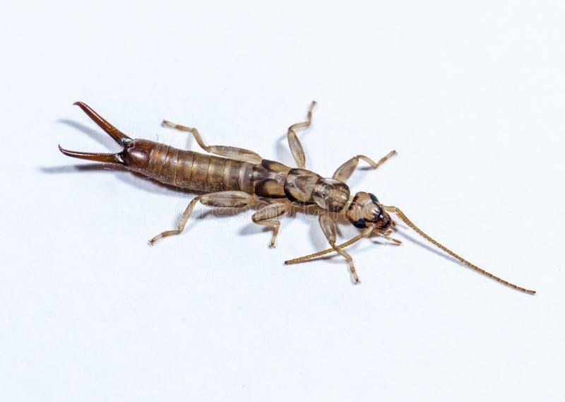 Fermez-vous de Earwig appelée par insecte image stock