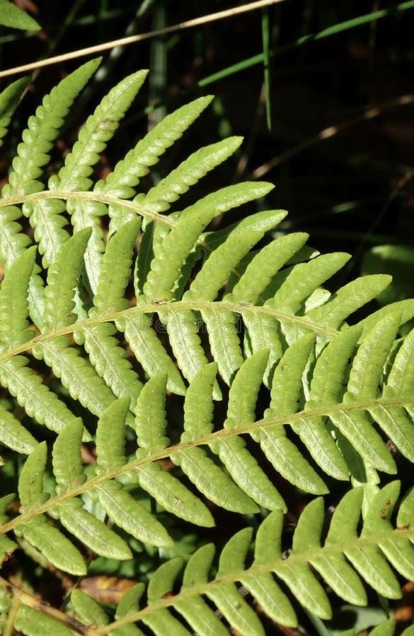 Fermez-vous de Fern Leaves images stock