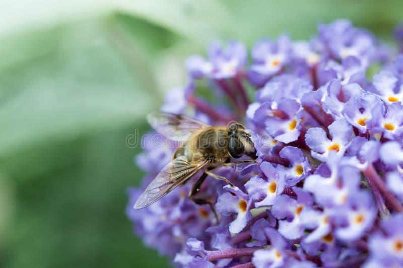 Fermez-vous de Hoverfly alimentant sur la fleur de buddleia image stock