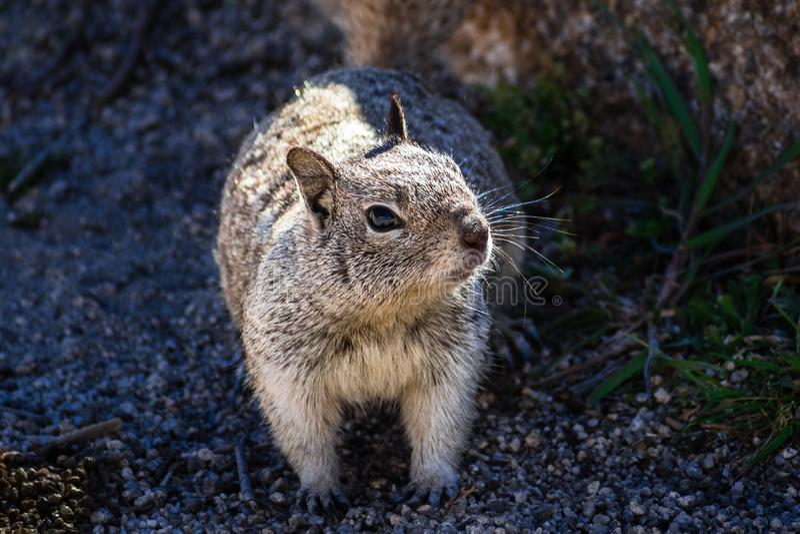 Fermez-vous de l'écureuil d'au sol de la Californie (beecheyi d'Otospermophilus) se reposant partiellement à la nuance d'un roche photo stock
