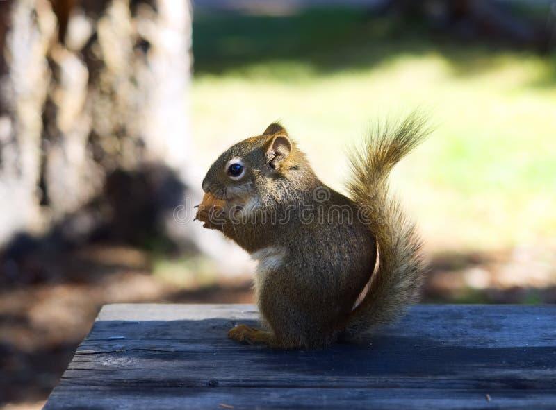 Fermez-vous de l'écureuil se reposant sur le Tableau en bois photos stock
