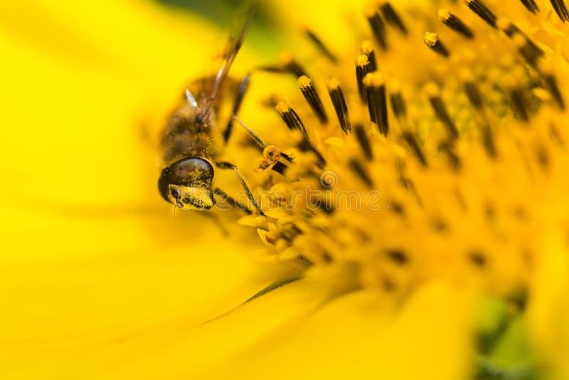 Fermez-vous de l'abeille sur le tournesol photo libre de droits