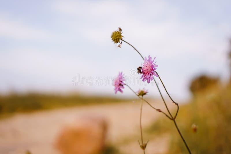 Fermez-vous de l'abeille sur une fleur photo libre de droits