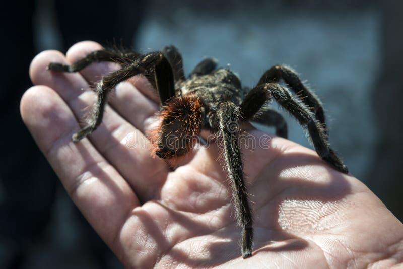 Fermez-vous de l'araignée noire se reposant sur une main photo libre de droits