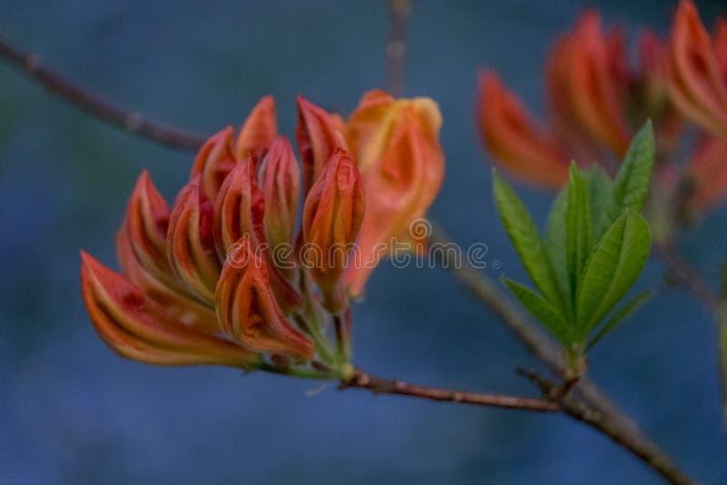 Fermez-vous de l'azalée japonaise orange dans le bourgeon avec des jacinthes des bois et du myosotis bleu dans le bleu à l'arrièr photo stock