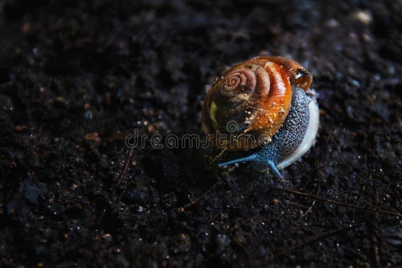 Fermez-vous de l'escargot sur le sol foncé image libre de droits