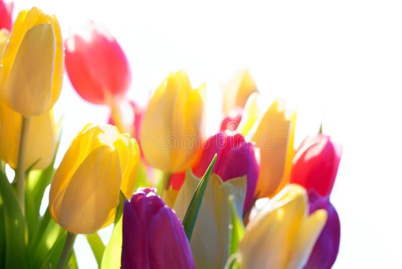 Fermez-vous de l'espace de copie de Sunny Tulip Flower Meadow Isolated With photographie stock