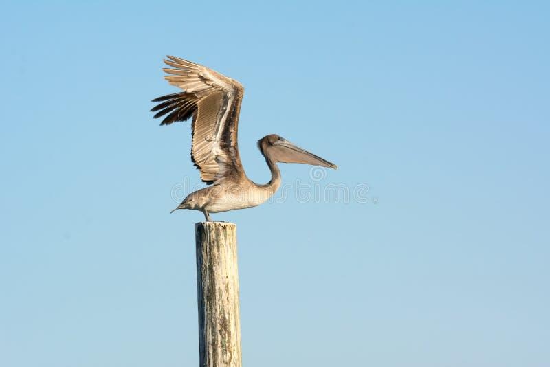 Fermez-vous de l'oiseau de pélican effectuant le vol attendant avec les ailes ouvertes sur une échasse image libre de droits