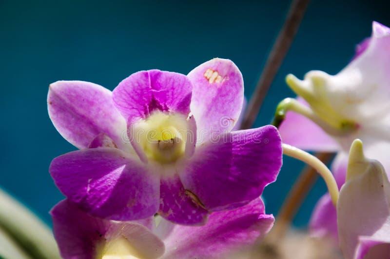 Fermez-vous de l'orchidée blanche et rose de dendrobium, Chiang Mai, Thaïlande photo libre de droits