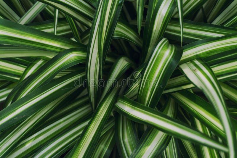 Fermez-vous de l'usine d'araignée Plante verte de longue feuille photographie stock