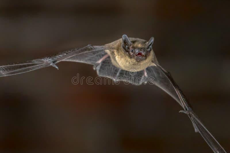 Fermez-vous de la batte de Pipistrelle de vol images libres de droits