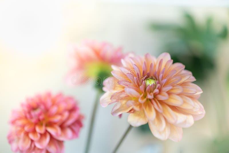 Fermez-vous de la belle fleur jaune rose orange de dahlia avec l'espace de copie pour le texte en employant en tant que paysage n photographie stock libre de droits