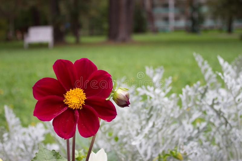 Fermez-vous de la belle fleur rouge de dahlia de Bourgogne sur le CCB naturel photo stock